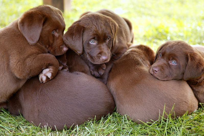 Bigstockphoto_Labrador_Retriever_dog_litter__6998421